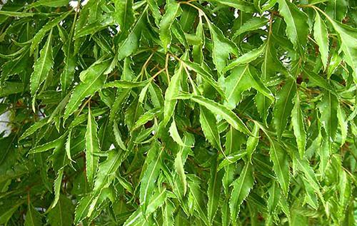 Cây đinh lăng là gì? Và tác dụng của lá cây đinh lăng tới sức khỏe đời sống