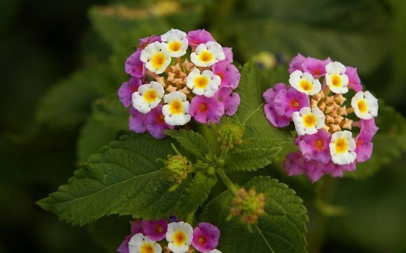 Hoa trâm ổi , cây trâm ổi có tác dụng gì , bán cây hoa trâm ổi