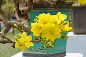 Cây mai vàng , đặc điểm của cây mai vàng, hình ảnh hoa mai vàng