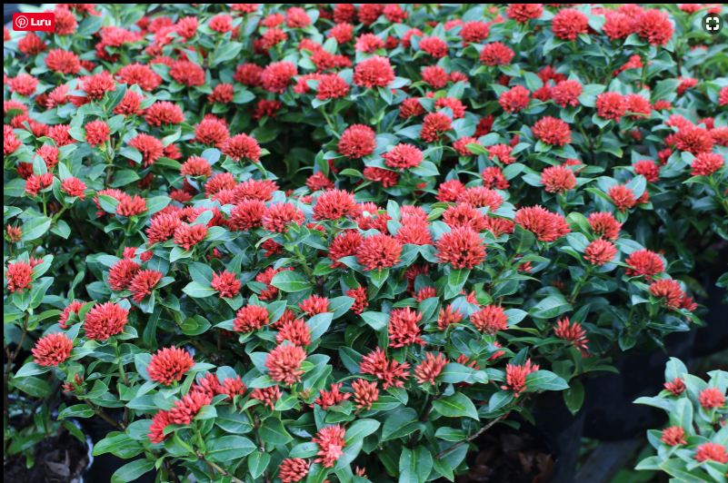 Cây bông trang ,  cách trồng bông trang , ý nghĩa cây bông trang đỏ